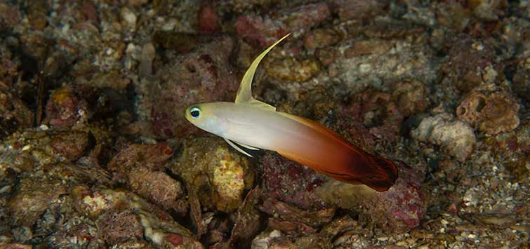 Nemateleotris magnifica Species | Tropical Fish Hobbyist Magazine