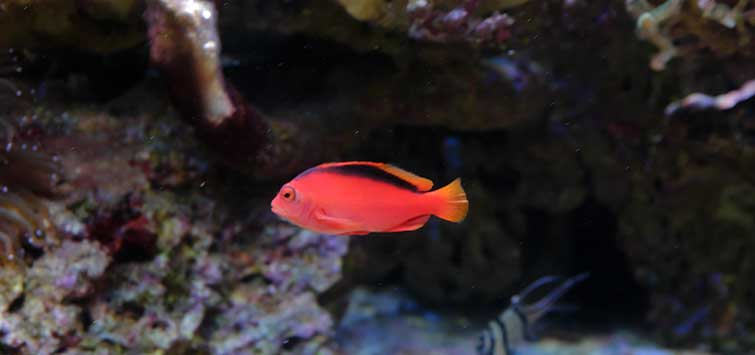 Flame Hawkfish Species | Tropical Fish Hobbyist Magazine