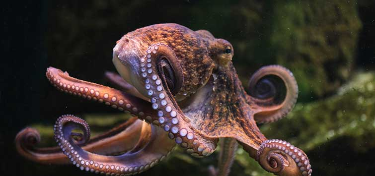 types of octopus