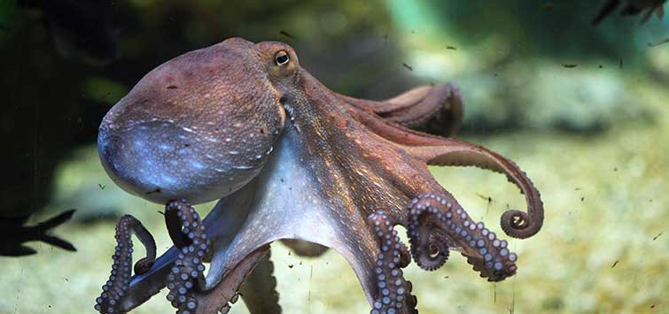 buying an octopus