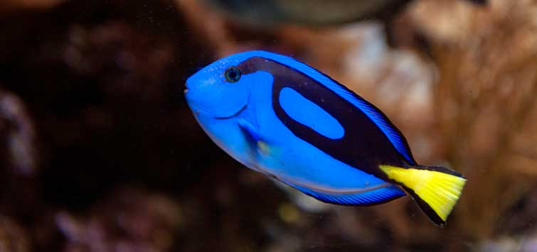 Paracanthurus hepatus Species | Tropical Fish Hobbyist Magazine