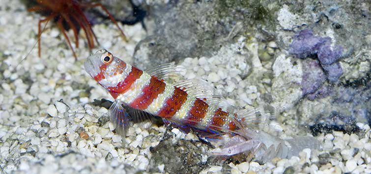 Pistol Shrimp & Goby Partnership | Tropical Fish Hobbyist Magazine