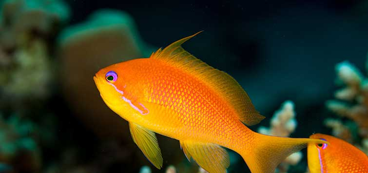 Pseudanthias squamipinnis Species | Tropical Fish Hobbyist Magazine