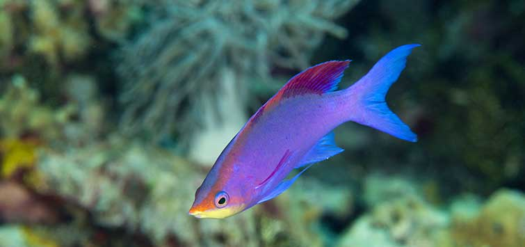 purple anthias