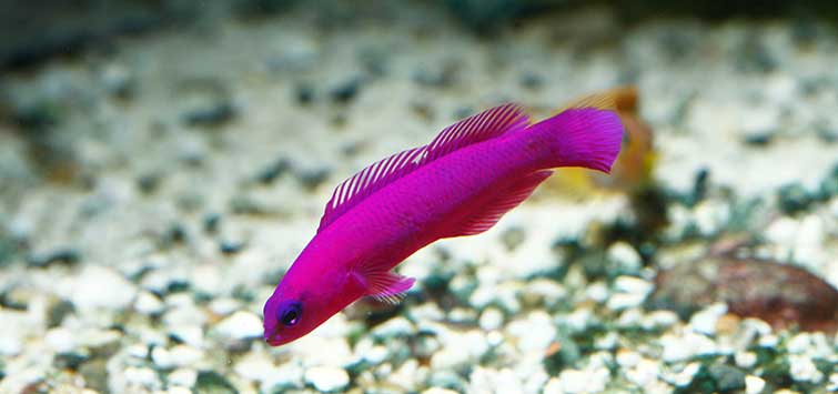 Pseudochromis fridmani Species | Tropical Fish Hobbyist Magazine