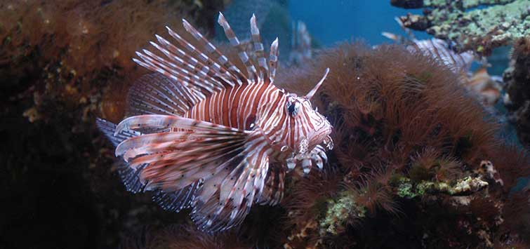 Pterois volitans Species | Tropical Fish Hobbyist Magazine
