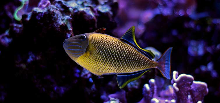 Reef-Friendly Triggerfish Species | Tropical Fish Hobbyist Magazine