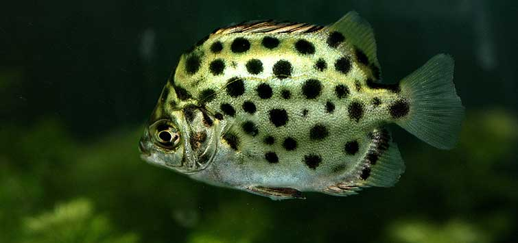 Scatophagus argus Species | Tropical Fish Hobbyist Magazine