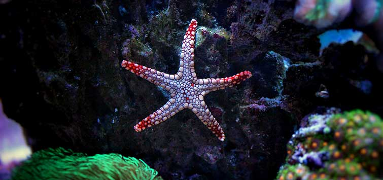 Best Aquarium Starfish | Tropical Fish Hobbyist Magazine