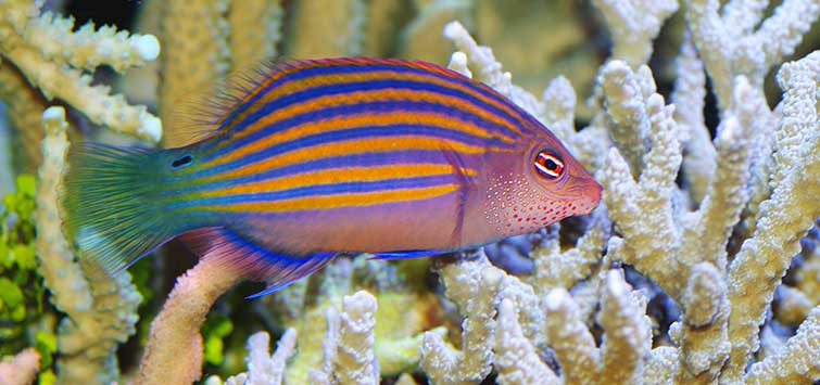 The Pseudocheilinus Wrasses | Tropical Fish Hobbyist Magazine