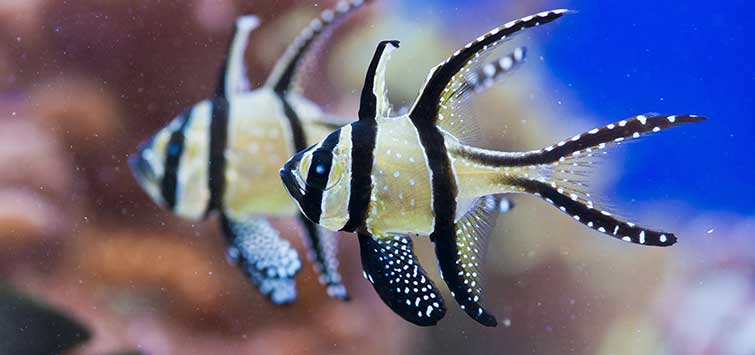 Spawning the Banggai Cardinal | Tropical Fish Hobbyist Magazine