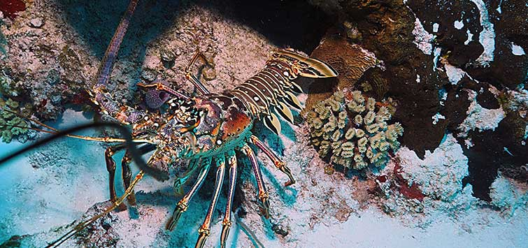 Spiny Lobster Facts: Unusual Marine Inverts | Tropical Fish Hobbyist Magazine