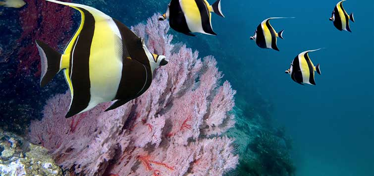 Moorish Idol Care Still A Challenge Tropical Fish Hobbyist Magazine