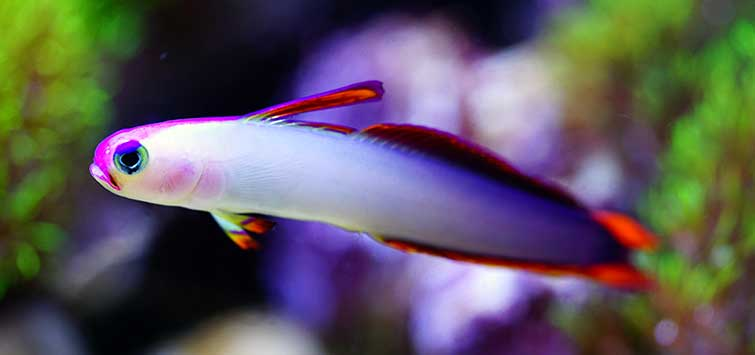 purple saltwater fish