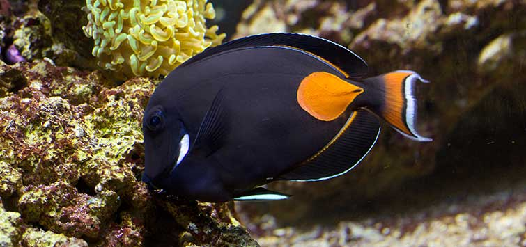 Achilles Tang Care | Tropical Fish Hobbyist Magazine