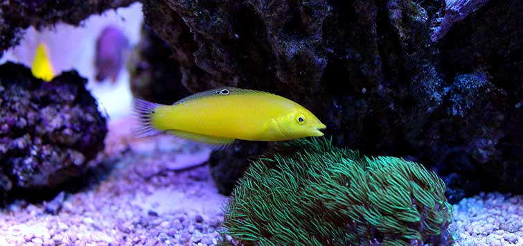 Best Wrasses for the Marine Aquarium | Tropical Fish Hobbyist Magazine