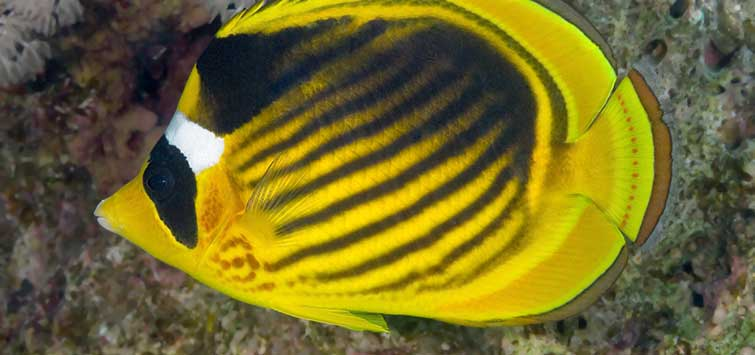 The Raccoon Butterflyfishes | Tropical Fish Hobbyist Magazine