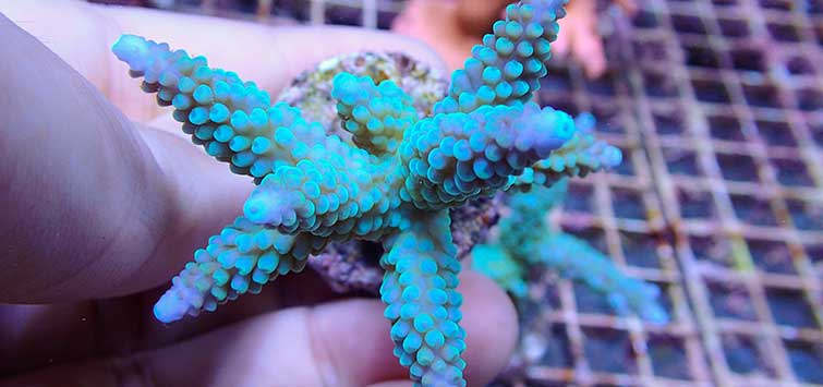 How to Frag Small-Polyped Stony Corals | Tropical Fish Hobbyist Magazine