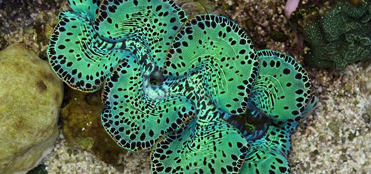 Giant Clam Placement | Tropical Fish Hobbyist Magazine