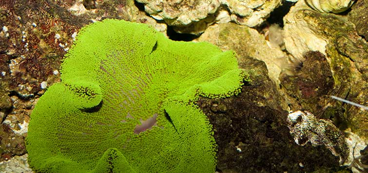 Carpet Anemone Care | Tropical Fish Hobbyist Magazine