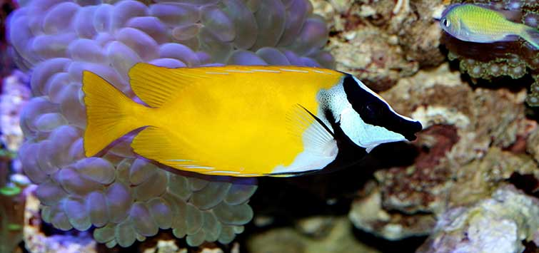 A Warren of Righteous Rabbitfishes | Tropical Fish Hobbyist Magazine