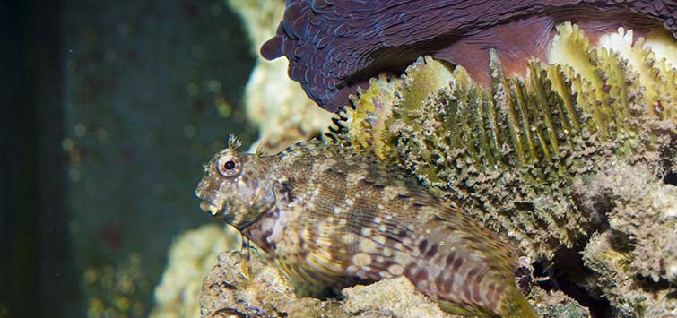 Combtooth Blenny Bottom Dwellers | Tropical Fish Hobbyist Magazine