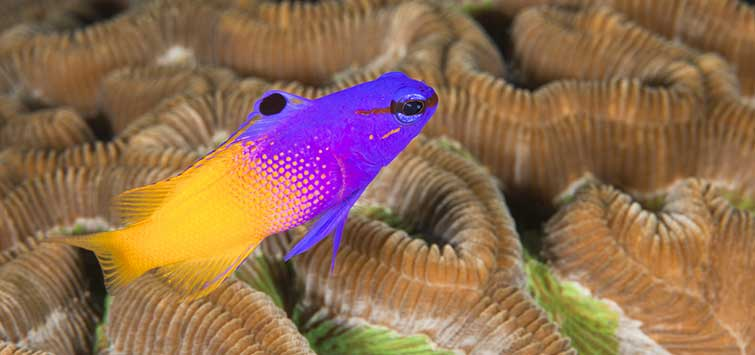 Royal Gramma Facts | Tropical Fish Hobbyist Magazine