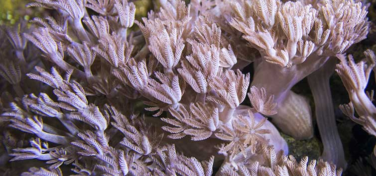 Persnickety Pulse Coral | Tropical Fish Hobbyist Magazine