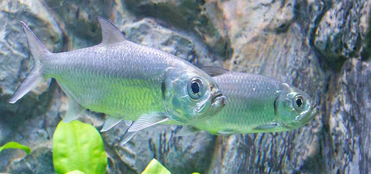 The Indo-Pacific Tarpon | Tropical Fish Hobbyist Magazine