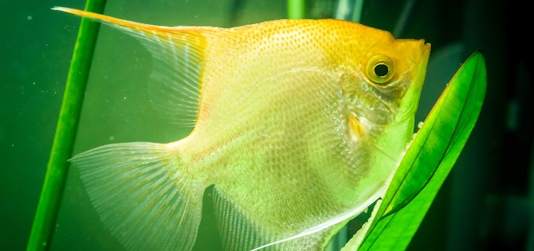 angelfish lying in plant