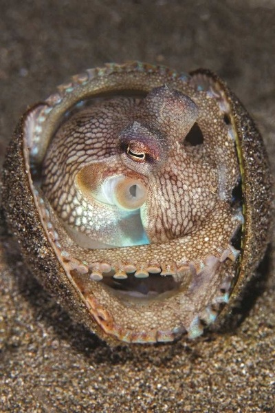 coconut-octopus-in-shell