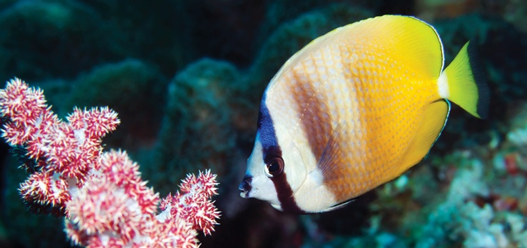 kleins-butterfly-fish