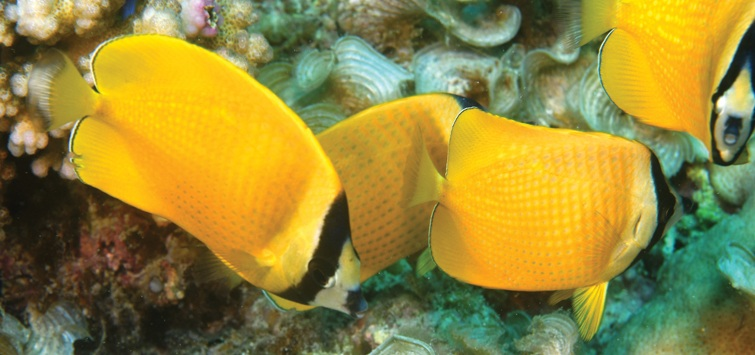sunburst-butterfly-fish