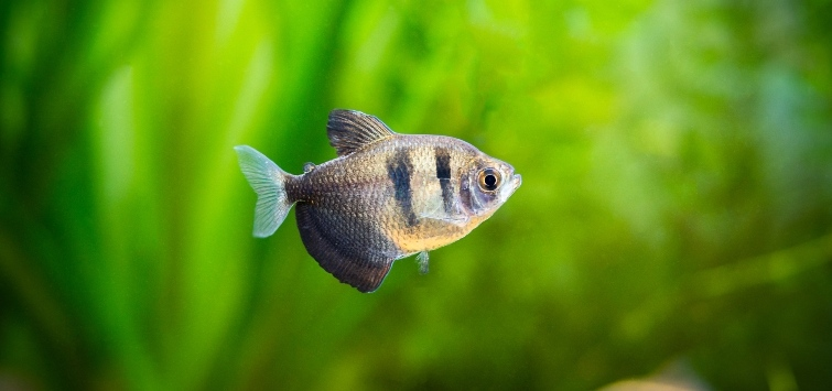 Black Skirt Tetra Species | Tropical Fish Hobbyist Magazine