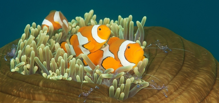 Amphiprion ocellaris Species | Tropical Fish Hobbyist Magazine