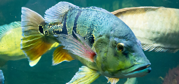 Experiences with Cichla temensis | Tropical Fish Hobbyist Magazine
