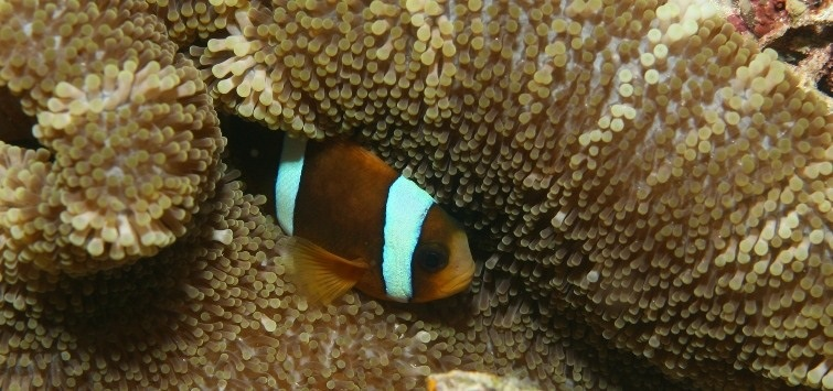 barrier-reef-clownfish and carpet anemone