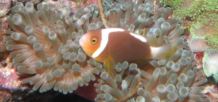 clownfish and bubble-tip anemone