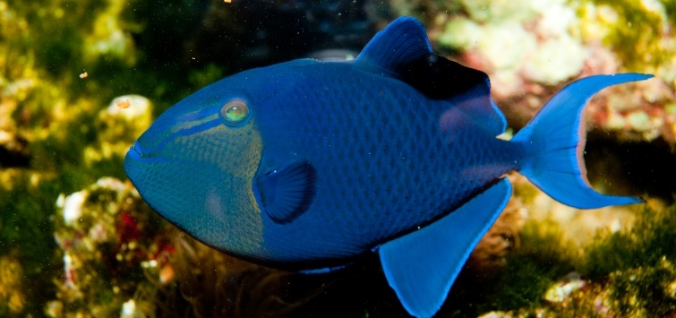 types of triggerfish