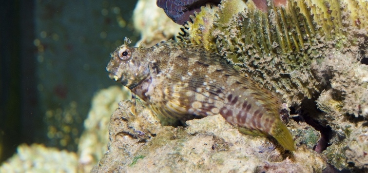 lawnmower blenny diet