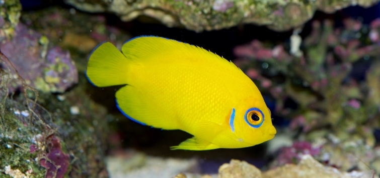 Stunning Yellow Fish and Gold Fish | Tropical Fish Hobbyist Magazine