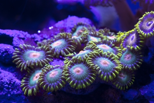 Zoanthus spp. Species | Tropical Fish Hobbyist Magazine